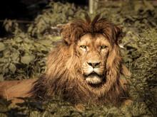 Portrait Of A Lion On Field