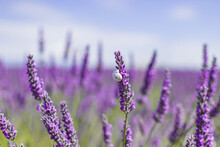 Lavender Flower Fields. Provence, France Purple Nature