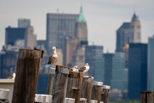 Seagulls At The Old Ferry Dock...