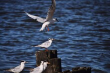 Common Tern Flying Over Sea