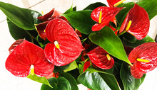Red Anthurium Flowes ( Tailflo...