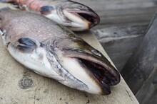 Closeup Shot Of Two Dead Fish ...