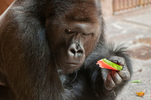 The Sitting Gorilla Calmly Eat...