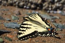Closeup Shot Of A Swallow Tail...