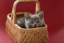 Little Cute Gray Kitten Britis...