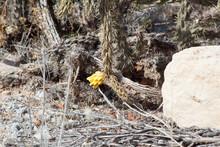 Cane Cholla Cactus Flowering