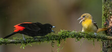 Scarlet Rumped Tanager Fighting