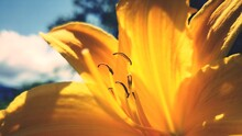 Close-up Of Orange Lily