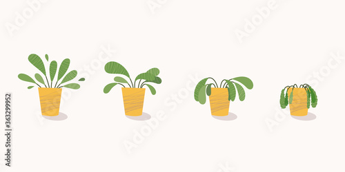 Fototapeta Stages of withering, a wilted plant in a pot, abandoned houseplant without watering and care
