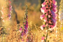 Purple Foxglove In The Forest At Dawn
