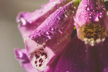Close-up Of Wet Pink Foxglove  Flower