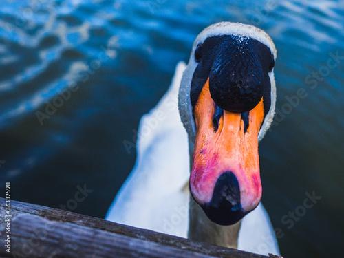 Foto Close-up Of Swan In Lake