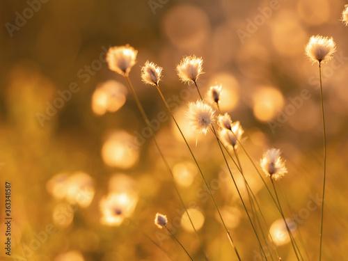 Fotografie, Obraz Cotton grass in the rays of sun at sunrise