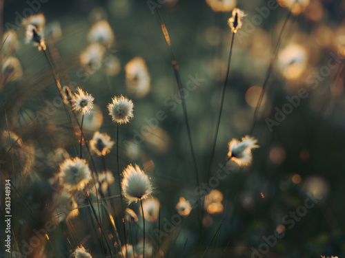 Fototapeta Growing cotton grass in a swamp in Sweden