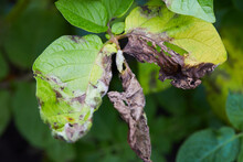 Potato Plant Has Got Ill With Phytophthora (Phytophthora Infestans). Potato Plant Has Got Sick By Late Blight, Agriculture