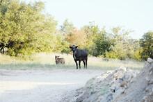 Black Angus Cows Far Away On T...