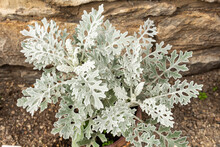 Beautiful Silver Leaves. Ornamental Plant Cineraria Seaside Or Silver Dust. View From Above.