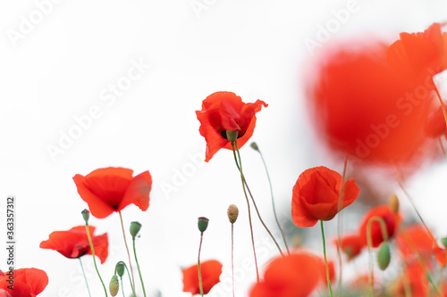 Fototapety, obrazy: Beautiful blooming poppies blurred background. Red poppy flowers on a white