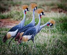 Pair Of Two Mating Pairs Of Grey Crown Cranes In Kenya
