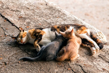 The Mother Stray Or Feral Cat Breastfeeding Her Kittens On The Sidewalk. Feral Cats Often Live Outdoors In Colonies In Locations Where They Can Access Food And Shelter.