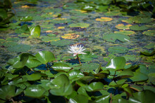 White Water Lilies On Large Round Leaves
