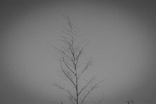 Árvore Black And White
