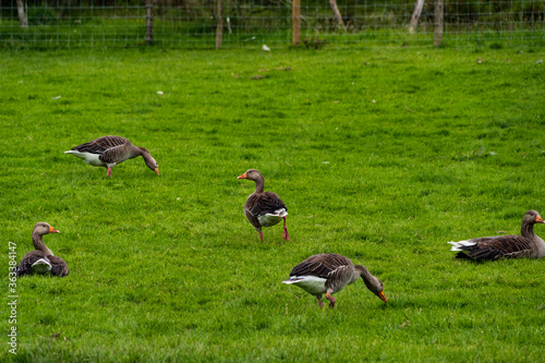 Canvas-taulu A gaggle of Geese in a field