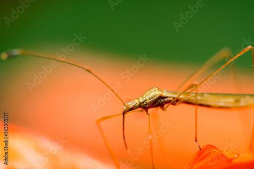 Foto Close-up Of Stilt Bug Insect On Flower