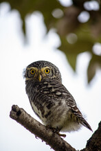 Portrait Of Collared Owlet