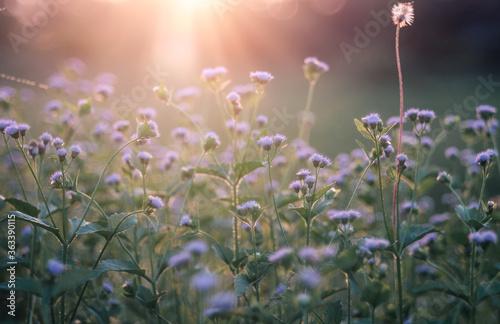 Fototapeta Close-up Of Purple Flowering Plants On Field