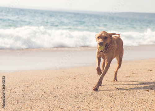 Fotografiet A Fit And Healthy Labrador Dog Running Along A Sandy Beach And Playing Fetch A B