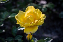 Open Blooming Yellow Rose. Beautiful Bright Yellow Flower Among Green Leaves. Spring Park. Close-up. On Open Air. Front View.