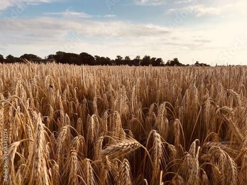 Fototapeta Scenic View Of Wheat Field Against Sky