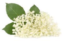 Elder Berrie Flowers Isolated On White Background