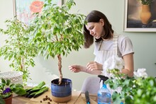 Girl Fertilizes Plant Ficus Benjamina Tree In Pot With Mineral Fertilizer In Sticks At Home