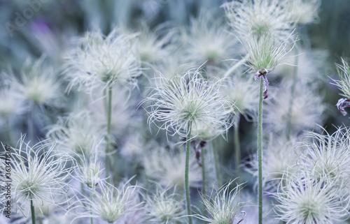 Fototapety, obrazy: Alpine anemone (Pulsatilla alpina apiifolia) fruits in the garden