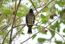 One Red Vented Bulbul Bird Or ...