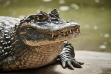 Close-up Of Crocodile At Lakeshore