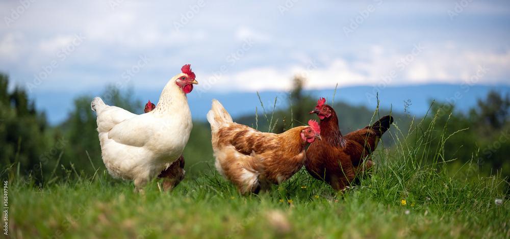 Glückliche freilaufende Hühner auf einer Wiese