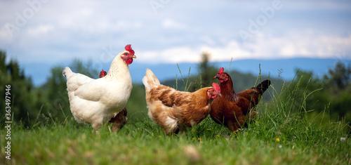 Glückliche freilaufende Hühner auf einer Wiese Canvas
