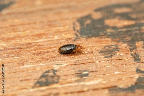 Lateral shot of Bed bug, Cimex lectularius, Pune, Maharashtra, India Tapéta, Fotótapéta
