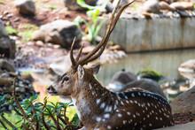 Javan Spotted Deer