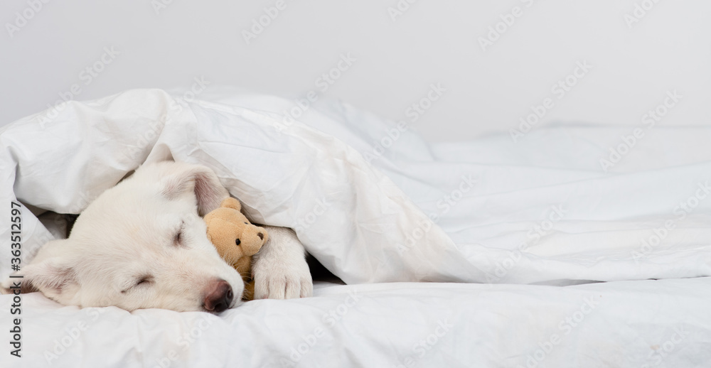Fototapeta Puppy sleeps under warm blanket on the bed at home and hugs favorite toy bear. Empty space for text