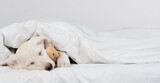 Fototapeta Kawa jest smaczna - Puppy sleeps under warm blanket on the bed at home and hugs favorite toy bear. Empty space for text