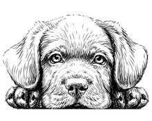 Labrador Puppy. Sticker On The Wall In The Form Of A Graphic Hand-drawn Sketch Of A Dog Portrait.