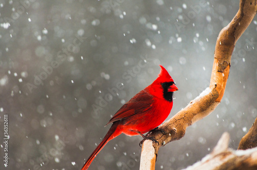 Fototapeta Close-up Of A Male Cardinal Perched On A Branch During A Snow Storm