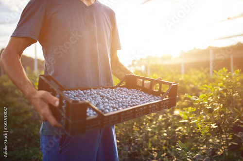 Fototapeta Farmer working and picking blueberries on a organic farm - modern business concept. obraz