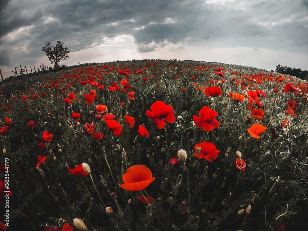 Fototapeta Close-up Of Red Poppy Flowers On Field Against Sky - obraz na płótnie