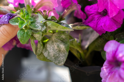 Fototapeta Symptoms of powdery mildew pathogen infection on petunia x hybrida