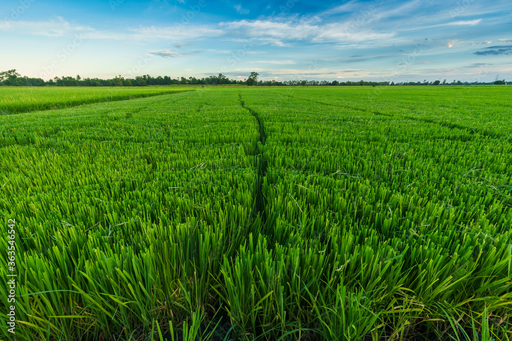 Fototapeta Beautiful green field cornfield or corn in Asia country agriculture harvest with sunset sky background.